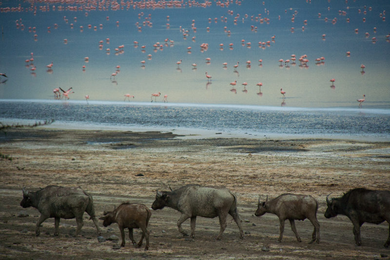 Cape Buffalos at sunset at Lake Nakuru in Kenya